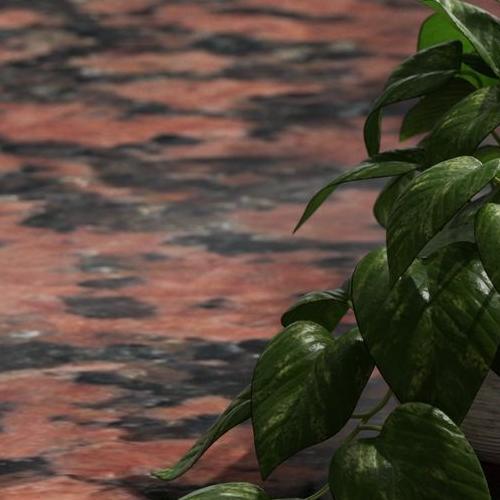 GRANIT ROSA BALMORAL - roślina doniczkowa